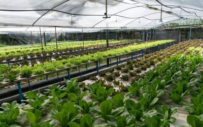 Pure Rudi Signs Growers Agreement with Bauers Greenhouses
